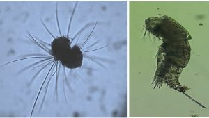 Zooplankton Pic 3